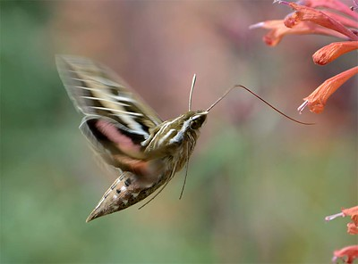 White-line Sphinx Moth