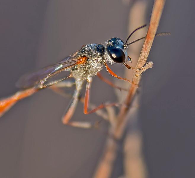 Ammophila rubripes