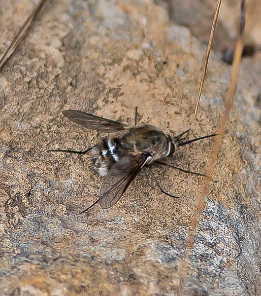 Bombylius cruciatus (Female)