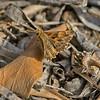 Carcharodus alceae (Mallow Skipper)