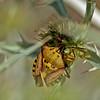 Carpocoris mediterraneus