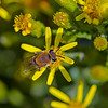 Colletes fodiens (Hairy-saddled Colletes)