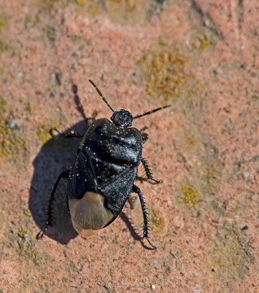 Cydnus aterrimus (Sheild Bug)