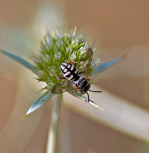 Epeolus variegatus (male) Black-Thighed Epeolus