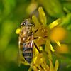 Band-eyed Drone Fly, Eristalinus taeniops