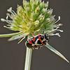 Red Cabbage Bug, Eurydema ornata