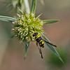 Leucopis intermedia
