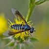 Lomatia (Female)