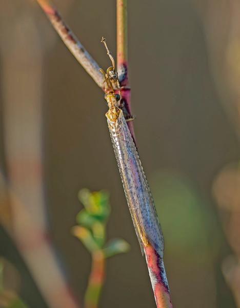 Macronemurus appendiculatus (female)