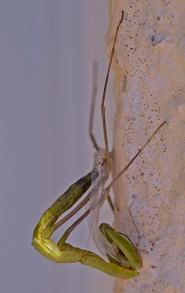 Mantis religiosa (moulting into sub-adult)