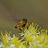 Megachile ericetorum.