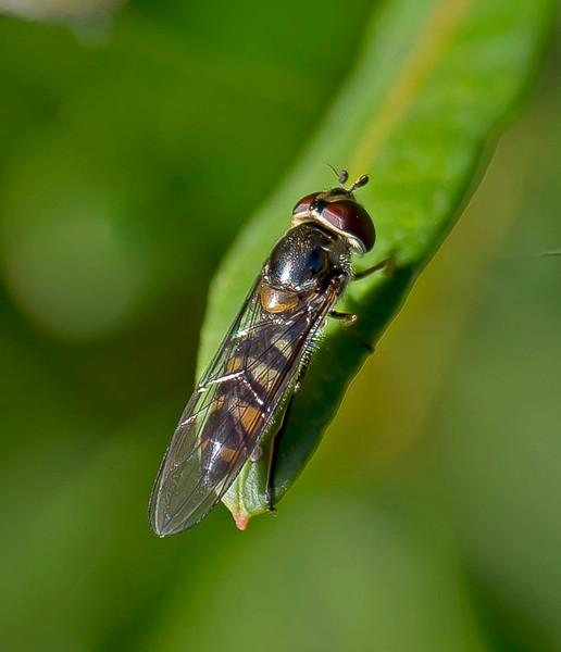 Meliscaeva auricollis (Female)