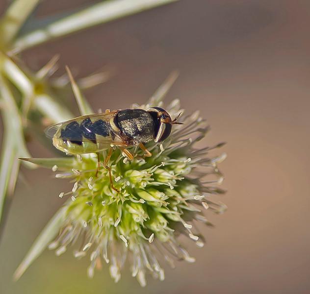 Oplodontha viridula (Female)
