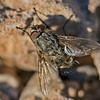 Pollenia rudis (male)