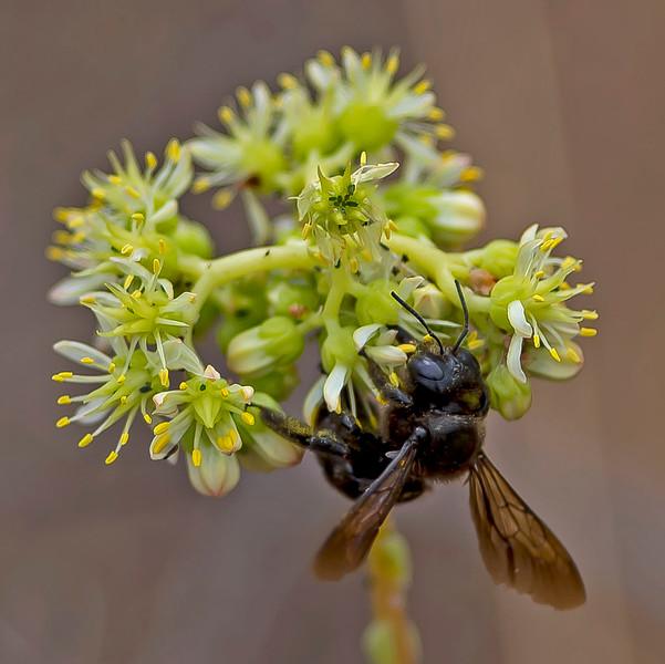 Carpenter Bee, Xylocopa violacea.