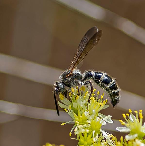 Camposomeris plumipes