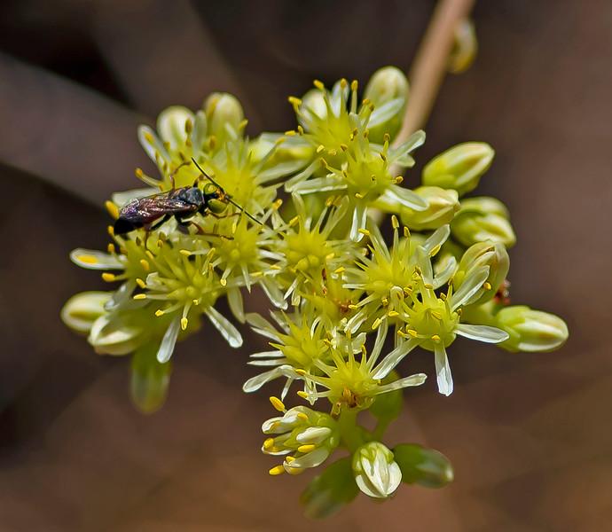 Tachysphex panzeri (Digger Wasp)