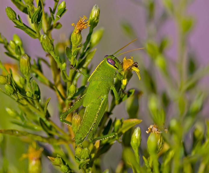 Egyptian Grasshopper, Anacridium aegyptium,