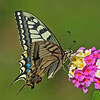 Common Swallowtail, Papilio machaon