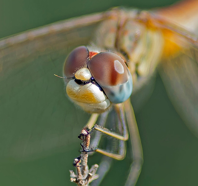 Sympetrum fonscolombii, (Selys,  1840)
