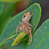 Unknown Jumping Spider Ref JS 001