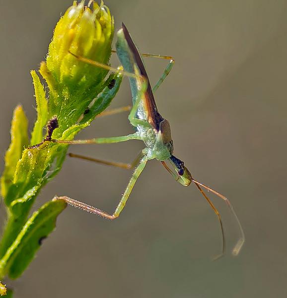 Zelus renardii ( The Leaf hopper)