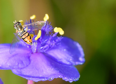 Hoverfly on Spiderwort  (Tradescantia) Flower