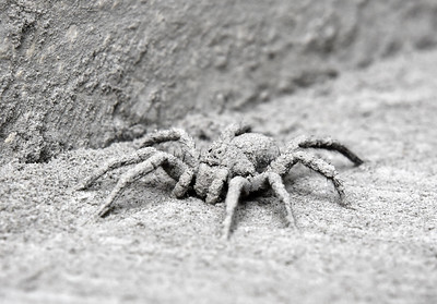 Wolf Spider with Grout