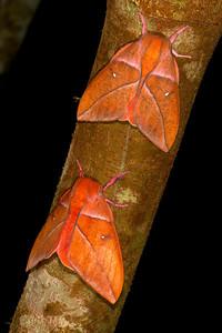 Pair of Citheroniid silk moths