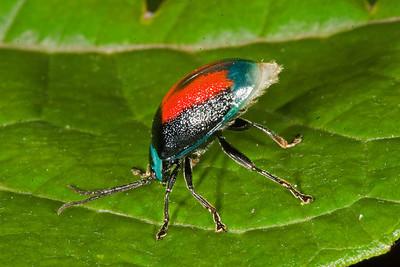 Leaf beetle displaying