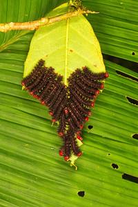 Colonial caterpillars