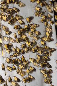 Tiger moths at blacklight sheet