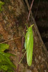 Rhinoceros katydid