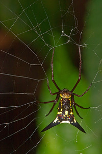 Cloud forest spiny spider