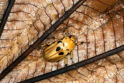 Pelidnota beetle