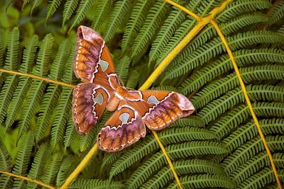 Very large female Rothschildia silk moth