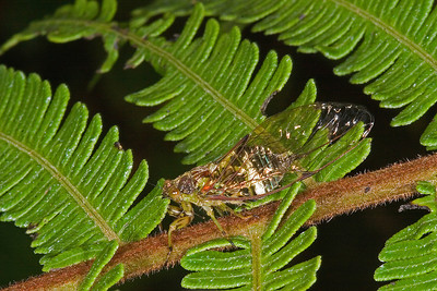 Cloud forest cicadas sing during the day