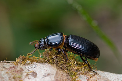 A three inch long bessie beetle