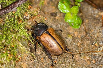 Female dynastid beetle