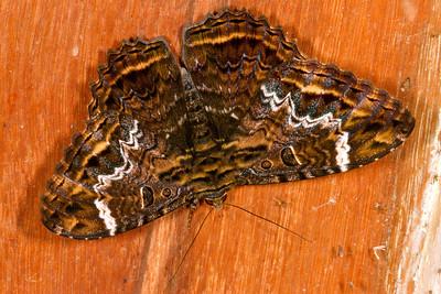 Species of black witch moth