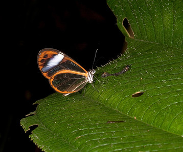 Ithomiid butterfly