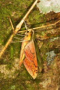 Green sphinx moth