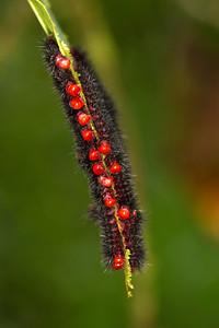Colonial caterpillar heads