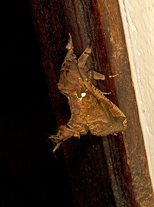 Noctuid moth that mimics a dead leaf