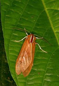 Cockroach mimicking tiger moth