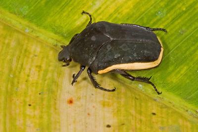 Cetonid beetle