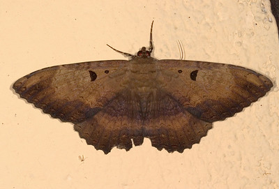 Noctuid moth, possibly  species of black witch