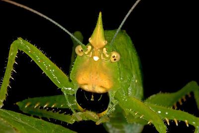Rhino katydid face