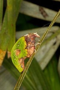 Dead leaf mimicking katydid