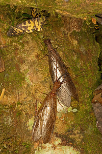 Courting Dobsonflies